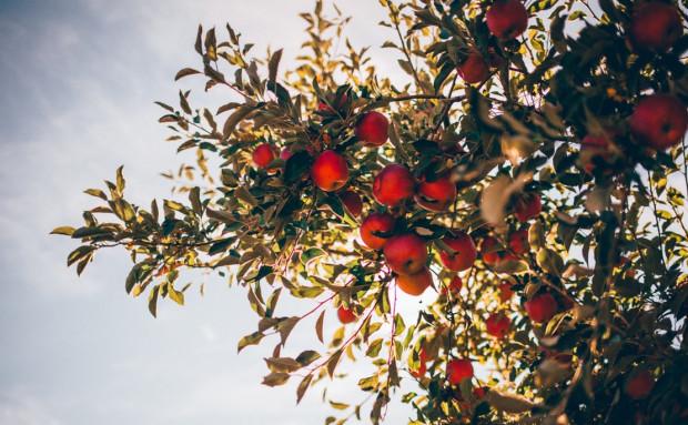 Niskie plony jabłek w Uzbekistanie, Tadżykistanie i Kirgistanie