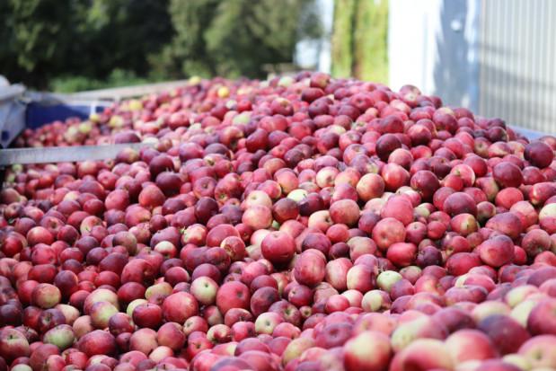 Ceny jabłek w skupach powyżej 60 gr za kilogram