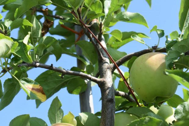 Nowy produkt Sumi Agro zablokuje rozmnażanie owocówki i zwójek