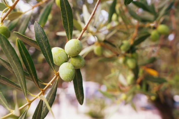 Bakteria dewastuje plantacje drzew oliwnych we Francji