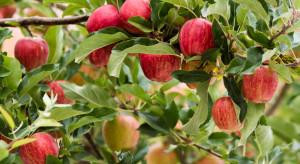 W produkcji jabłek ochrona biologiczna ma przyszłość
