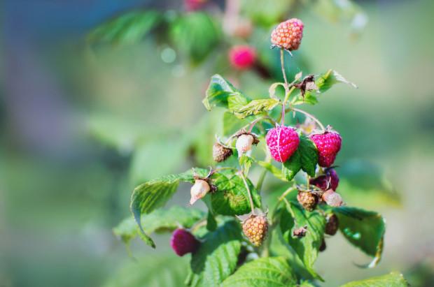 Trwają jesienne zbiory malin. Owoców będzie mniej z powodu suszy