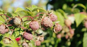 Trwa szacowanie strat po suszy. Owoce i warzywa będą droższe (wideo)
