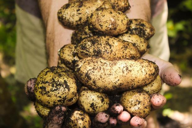 Zbiory ziemniaka w Europie Zachodniej znacząco wyższe niż w roku ubiegłym