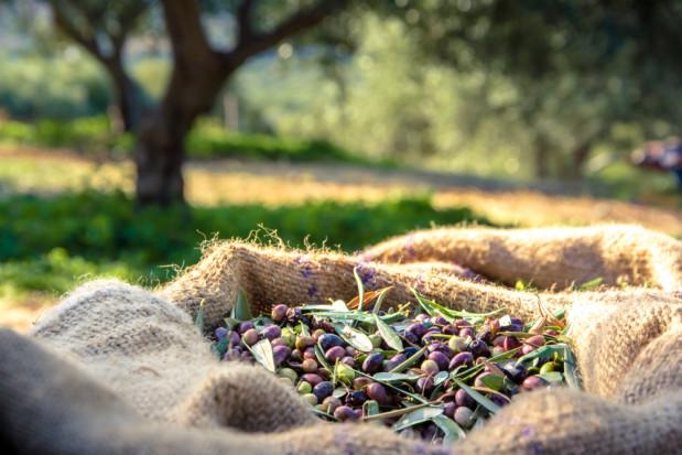 Hiszpania: produkcja oliwy z oliwek przestała być opłacalna