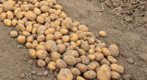 Trwają wykopki – plony ziemniaka wyjątkowo niskie z powodu suszy