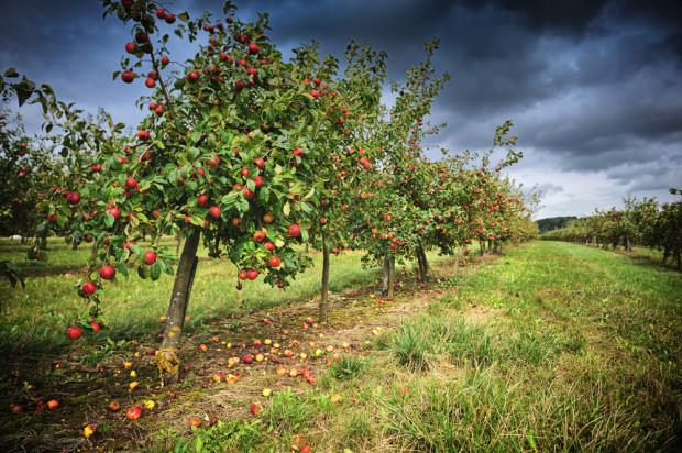 Karczowanie nieefektywnych sadów mogłoby pomóc polskiemu sadownictwu? – stanowisko MRiRW
