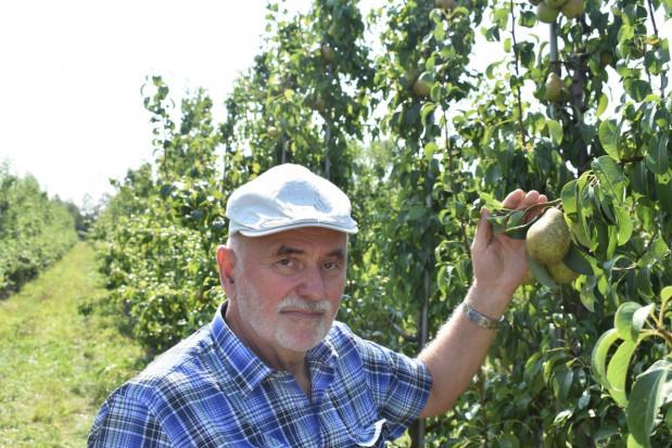 Dobre plonowanie gruszy Sobieski w sadzie SGGW