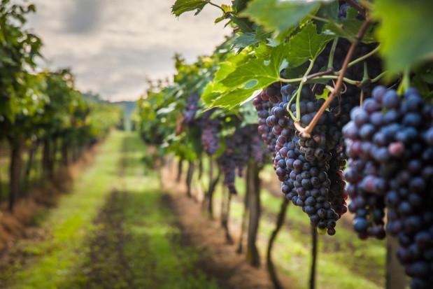 Podkarpackie: rozpoczęło się winobranie; potrwa blisko miesiąca