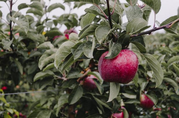 Francja spodziewa się w tym roku zbiorów jabłek na poziomie 1,65 mln ton