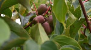 Minikiwi  2019 –  dobry sezon dla plantatorów, mimo trudnego wiosennego początku (zdjęcia)