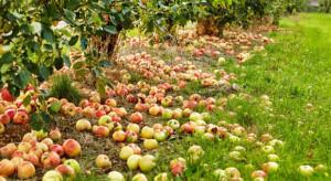 Skup jabłek przemysłowych 2019. Dlaczego wśród sadowników nie ma solidarności?
