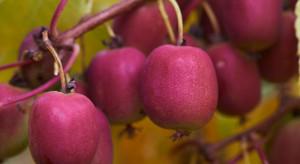 Dlaczego warto jeść owoce MiniKiwi? (wideo)