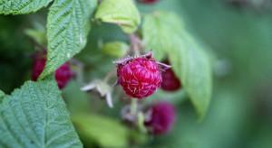 Zbiory jagodowych oceniono na 0,5 mln t, tj.  -o 18% mniej niż w roku ub.