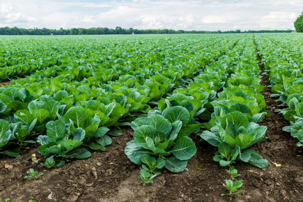 GUS: Produkcja warzyw gruntowych na niższym poziomie niż w 2018 roku