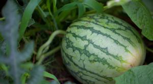 Dolny Śląsk: W środku lasu wyrósł arbuz