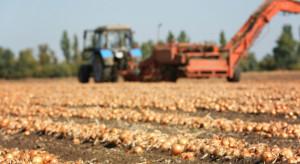 Spadek zbiorów cebuli w Polsce, prawdopodobny wzrost w Holandii (analiza)