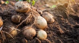 Wyższa produkcja ziemniaków w krajach Europy Zachodniej (analiza)