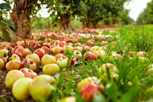 Mazowsze: Z każdym dniem ceny jabłek przemysłowych rosną
