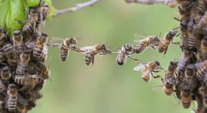 Rosja: Masowo wymierają pszczoły
