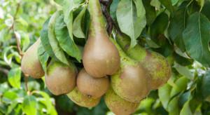 Włochy: Znaczny spadek produkcji gruszek