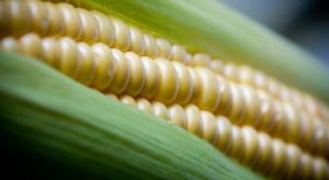Kukurydza cukrowa to praca sezonowa – wywiad z plantatorem z Małopolski