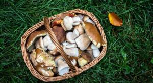 Eksperci: grzyby najlepiej spożywać wkrótce po zebraniu