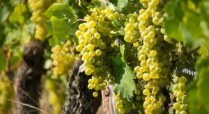 Północno-wschodnia część Chorwacji słynie z upraw winorośli i produkcji wina