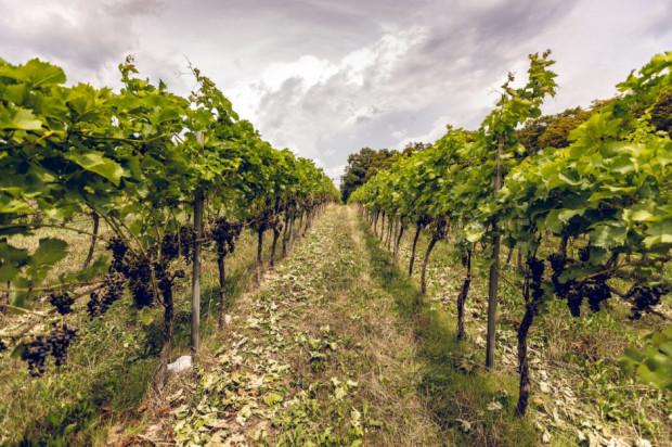 Winnica Srebrna Góra chce doskonalić się w uprawie winorośli (zdjęcia)