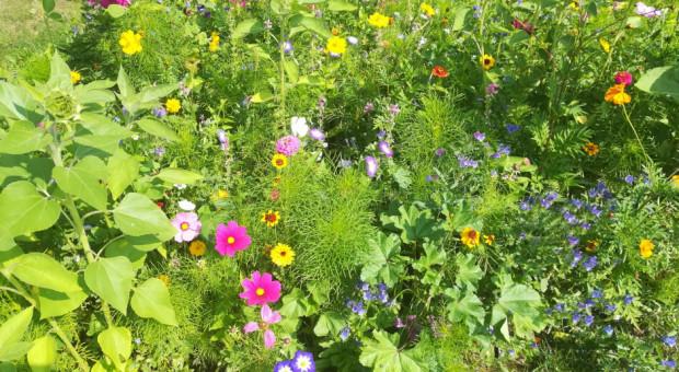 W Bielsku-Białej powstała kwietna łąka np. dla motyli i pszczół