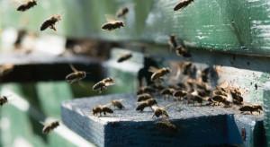 Małopolskie: Policja nie znalazła sprawców wytrucia pszczół w Wysokiej
