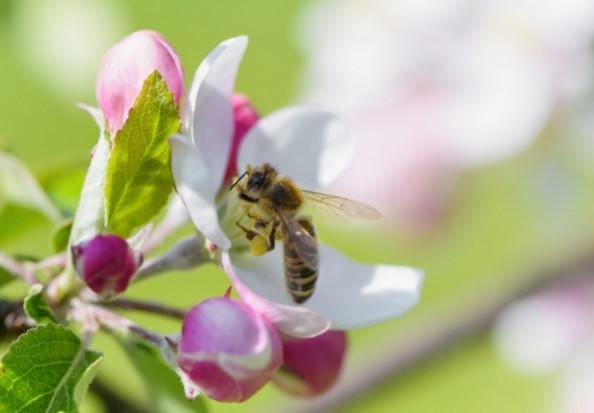 Kanada: Pszczoły wykorzystywane do roznoszenia biologicznych środków ochrony roślin