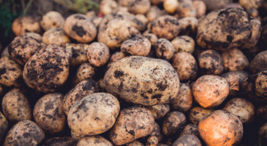 PIORiN: Chrysanthemum stunt viroid może rozwijać się na ziemniaku