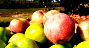 Wielka Brytania: Jabłka gniją w sadach z powodu brexitu