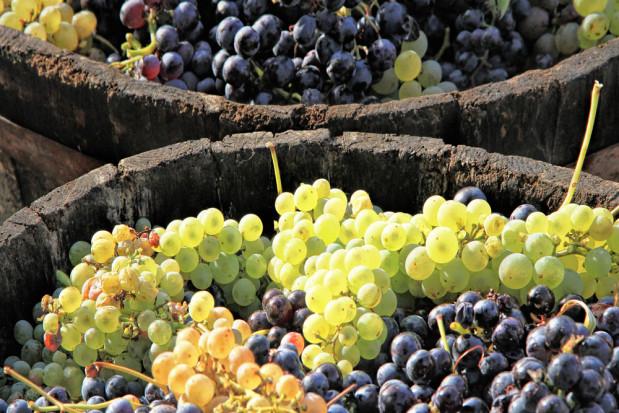 Zakończyło się winobranie w Winnicy Jasło. Zebrano ponad 5 ton owoców