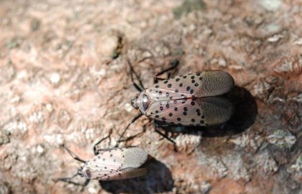 Zagrożenie upraw sadowniczych szkodnikiem Lycorma delicatula