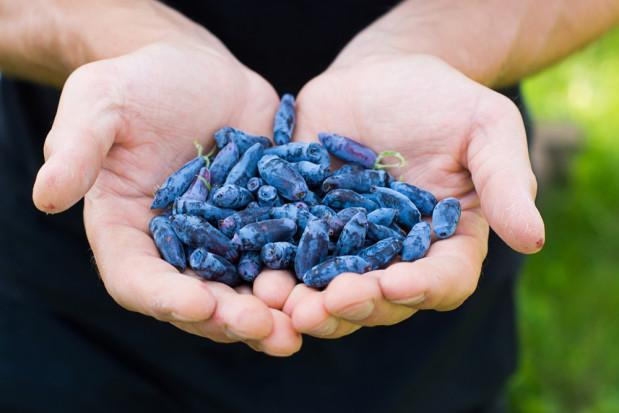 Nutracevit: Chcemy połączyć siły i wspólnie promować jagodę kamczacką w Europie (wywiad)