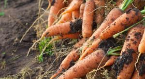 Trwają marchewkowe żniwa. W tym roku plony będą mniejsze
