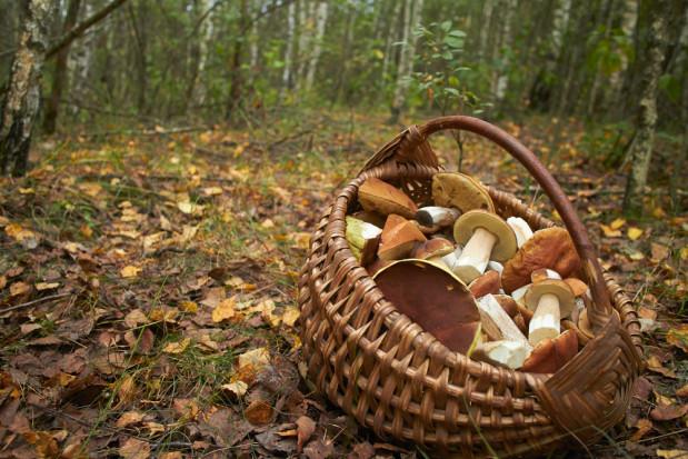 W Polsce można zbierać grzyby  bez ograniczeń, w Niemczech tylko do 2 kg dziennie