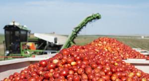 Kończą się zbiory pomidorów dla przetwórstwa
