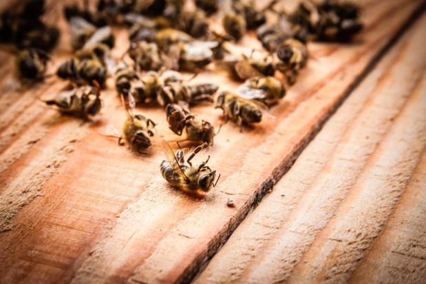 Opolskie: Pszczelarz stracił niemal pół miliona pszczół