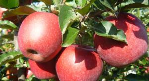 AJ!APPLE: Utrzymuje się duży popyt na odmiany jednolicie wybarwione - czerwone lub zielone (zdjęcia)