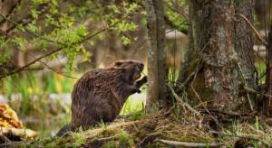 Podkarpackie: Ponad 460 tys. zł wyniosły szkody wyrządzone przez zwierzęta chronione