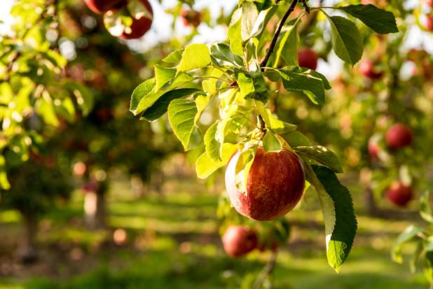 Ekologiczny Sad: Do dziś w starych nasadzeniach z 1927 r. mamy stare odmiany jabłoni (wywiad)