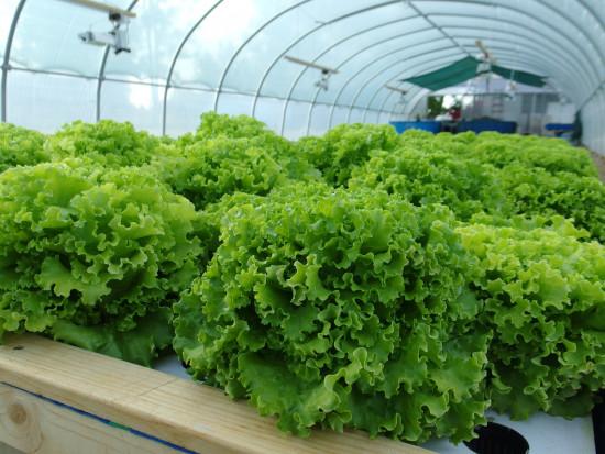 Akwaponika – alternatywa dla tradycyjnych form uprawy roślin