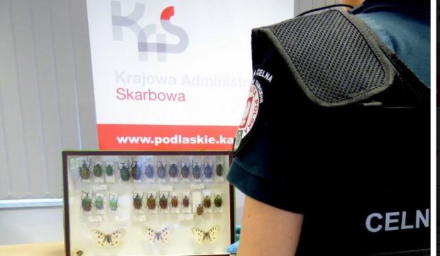 Podlaskie: KAS zatrzymała kolekcję owadów; były w niej gatunki chronione