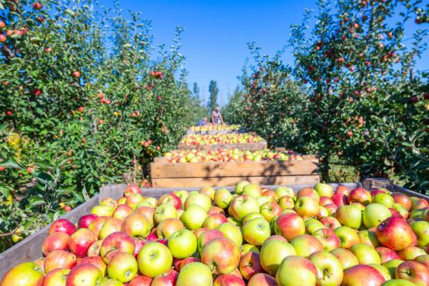 Zbiory jabłek w Chinach wzrosną o 24 proc. w porównaniu do 2018 r.