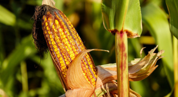 UE: Polska podniosła w Brukseli sprawę nadmiernego importu kukurydzy z Ukrainy