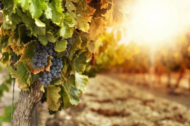 Przyszłość europejskiej uprawy winorośli: co zrobić, by dalej odnosiła sukcesy?