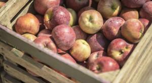 Stabilne ceny jabłek na rynku hurtowym w Broniszach